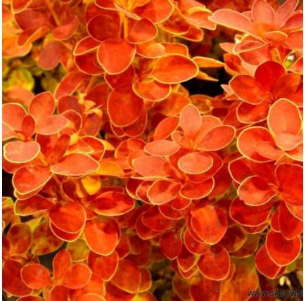 """Барбарис тунберга """"orange sunrise"""""""