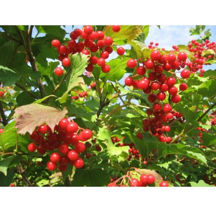 Калина садовая Вигоровская
