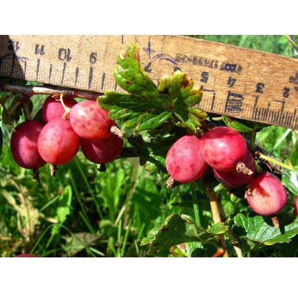 Крыжовник Розовый 2
