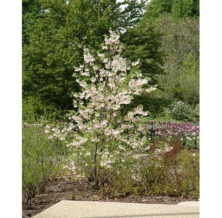 Ландышевое дерево Галезия Каролинская Розеа