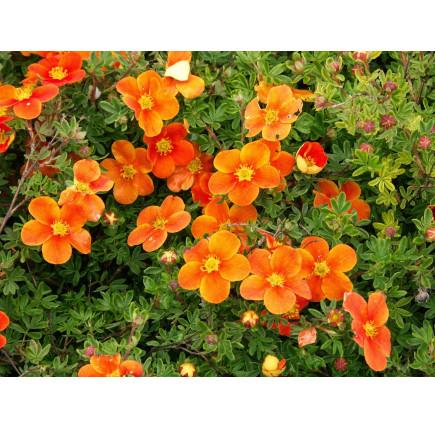 Лапчатка кустарниковая hopleys orange