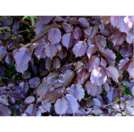 Лещина крупная purpurea