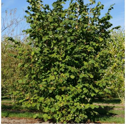 Лещина обыкновенная nottingham fruchtbare