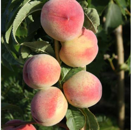 Колоновидный персик «Кулон»