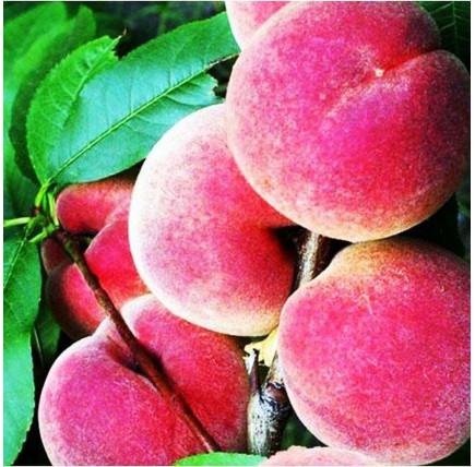 Колоновидный персик «Штайнберг»