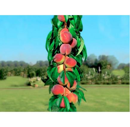 Колоновидный персик «Тотем садовода»