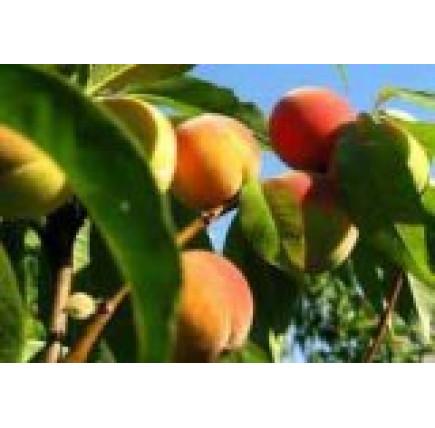 Персик Майский цветок (Майфловер)