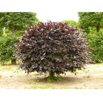 Бук лесной atropunicea