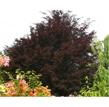 Бук лесной atropurpurea
