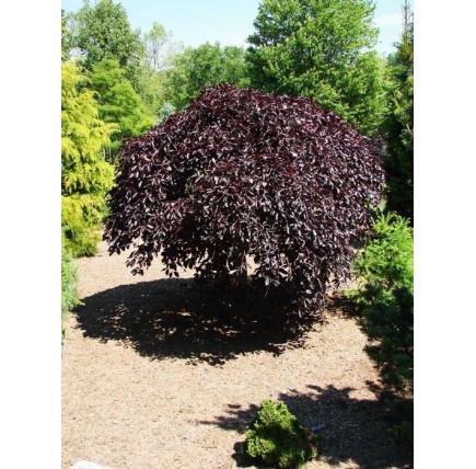 Бук лесной purpurea
