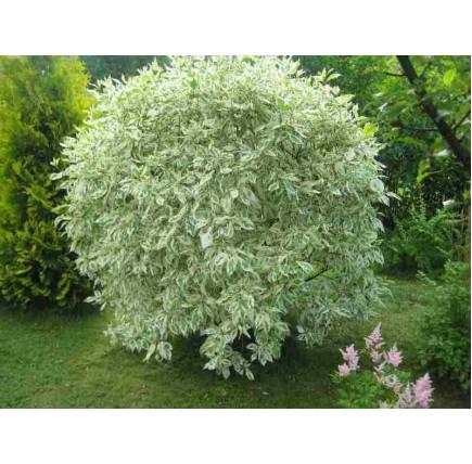 Дерен белый elegantissima