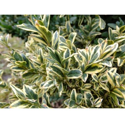 Самшит вечнозеленый Элегантиссима