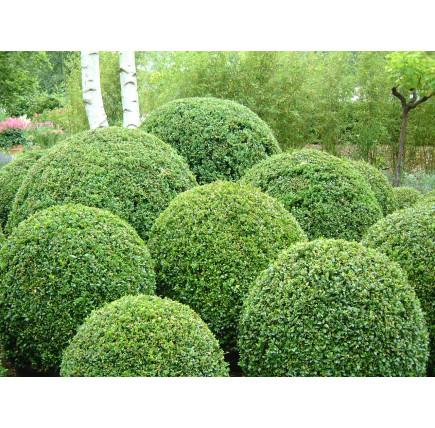 Самшит вечнозеленый сформированный Шаром