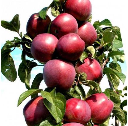 Колоновидная яблоня «Пьедестал»