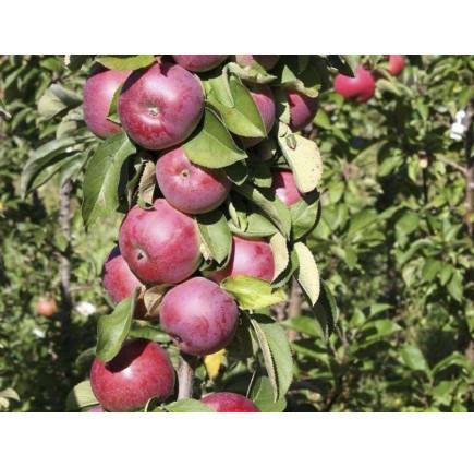 Колоновидная яблоня «Есения»