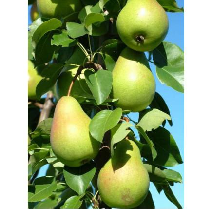 Колоновидная груша «Любимица Яковлева»