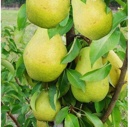 Колоновидная груша «Санреми»