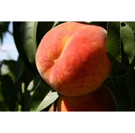 Персик Пушистый ранний