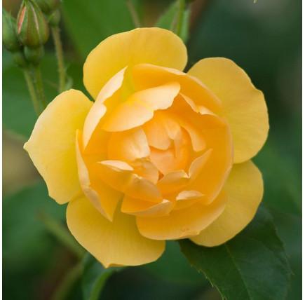 Роза английская «Баттеркап»
