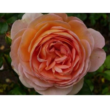 Роза английская «Абрахам Дерби»