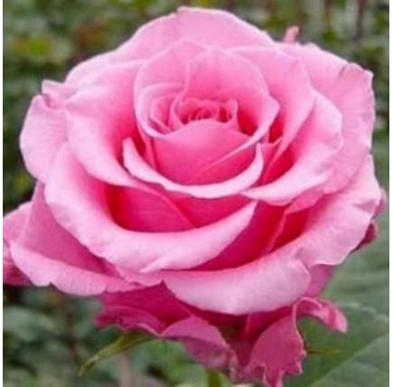 Роза кустовая «Балет»