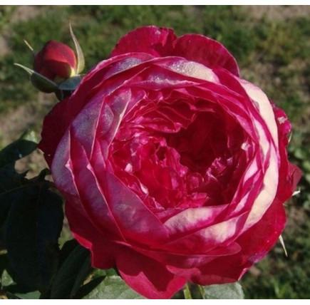 Роза английская «Бенджамин Бритен»