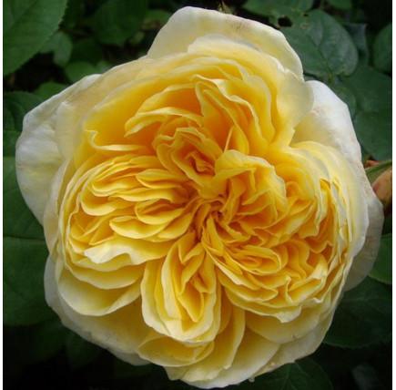 Роза английская «Шарлотта»