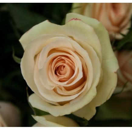 Роза кустовая «Ла Перла»