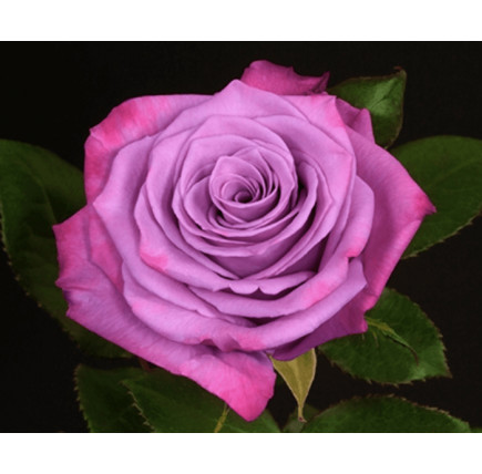 Роза кустовая «Муди Блюз»