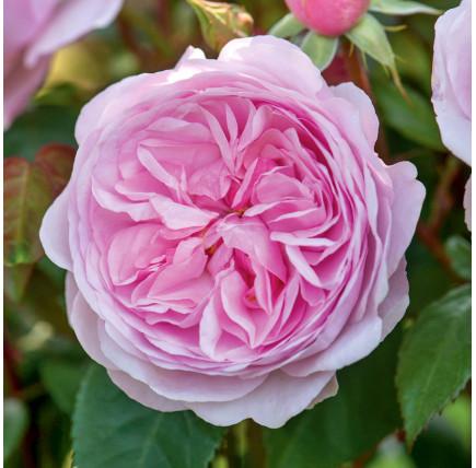 Роза английская «Оливия Роуз Остин»