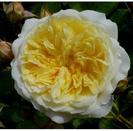 Роза английская «Пелигрим»