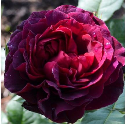Роза английская «Принц»