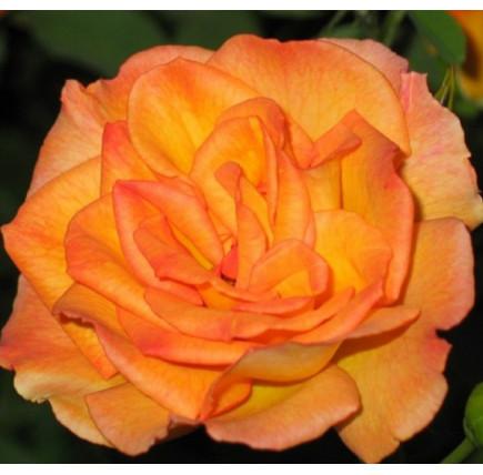 Роза английская «Сахара»