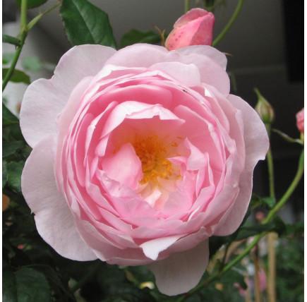 Роза английская «Септё дайл»