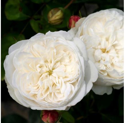 Роза английская «Файер Бьянка»