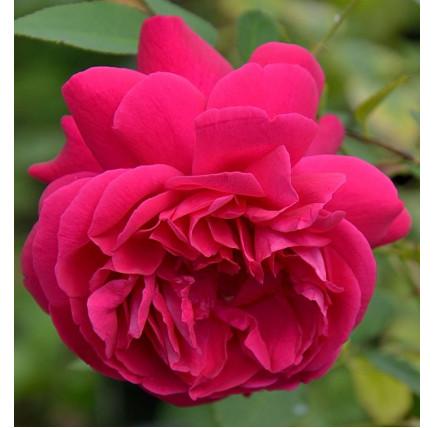 Роза английская «Томас Бекет»