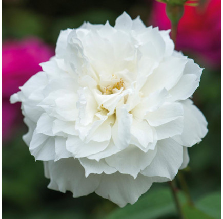 Роза английская «Сьюзен Уильямс-Эллис»