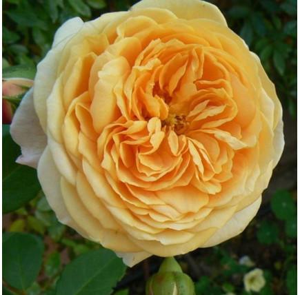 Роза английская «Тизин Джорджия»