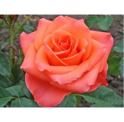Роза кустовая «Вау»