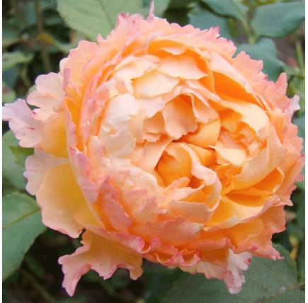 Роза плетистая «Вел Бинг»