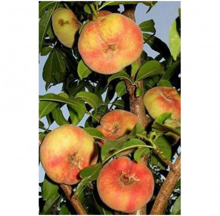 Персик инжирный Бельмандо