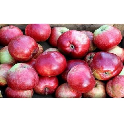 Колоновидная яблоня «Алые Паруса»