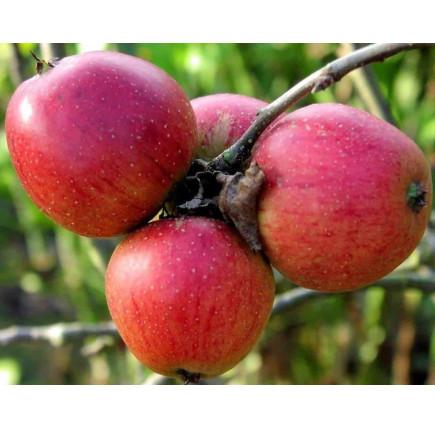 Яблоня «Бессемянка Мичуринская»