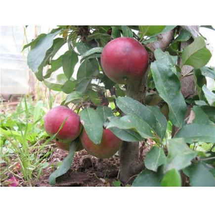 Колоновидная яблоня «Червонец»