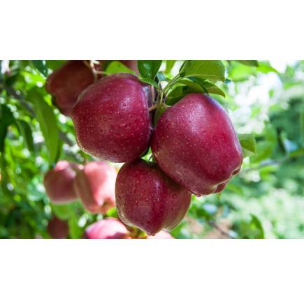 Яблоня «Ред Делишес»