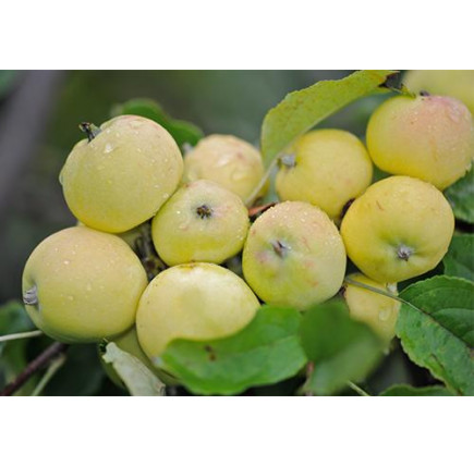 Колоновидная яблоня «Китайка жёлтая»