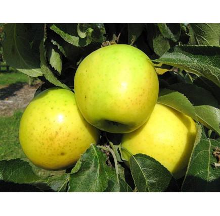 """Колоновидная яблоня """"Малюха"""""""