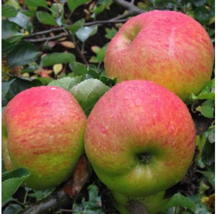 Яблоня Орловское полосатое