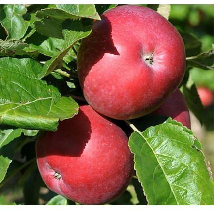 Колоновидная яблоня «Созвездие»