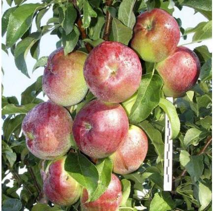 Колоновидная яблоня «Стрела»